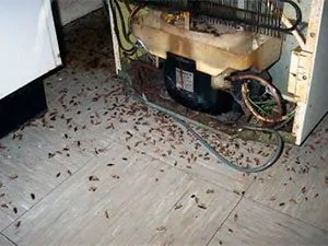 Cockroaches poop identification