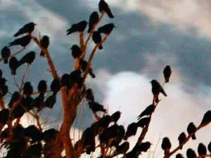 Huge communal roosts of crows