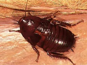 Florida Woods Roaches