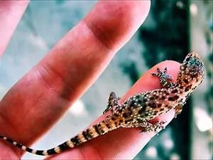 Geckos size