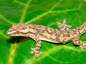 Effective geckos control tips