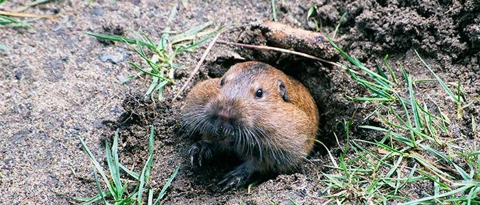 Groundhogs burrow