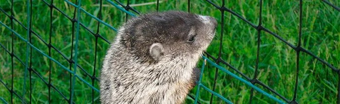 Groundhog climb over fence