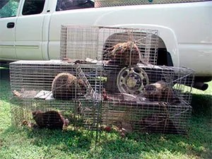Relocate catched groundhogs