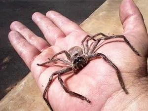 How to Get Rid of a Brown Recluse Spiders: Complete Guide from A to Z