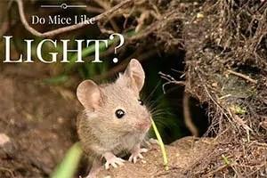Do mice like Light?