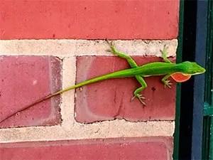 Lizards in house