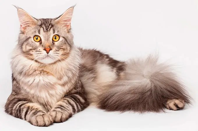 Maine Coon breed
