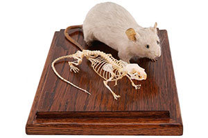 Backbone of mice