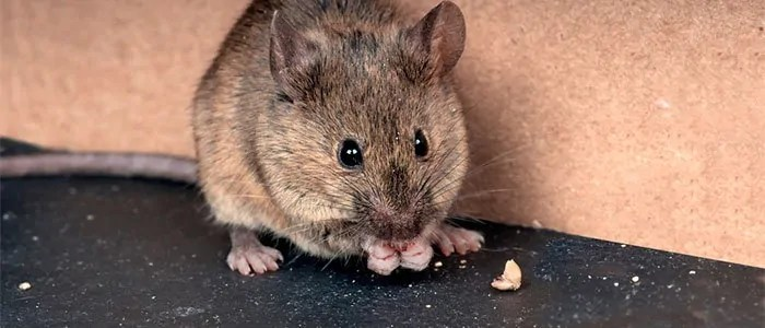 Mouse in your house
