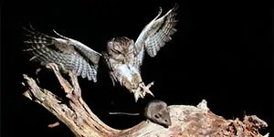 Mouse catched by owl