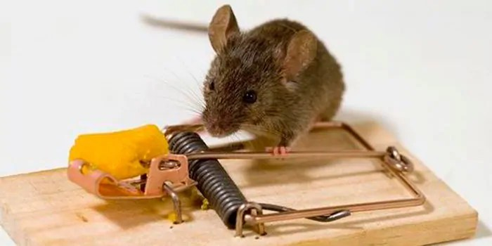 Mouse on trap