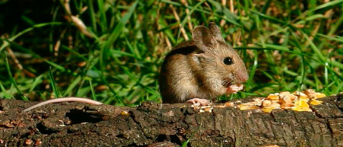 Field mouse diet