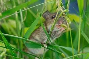 Mouse eating grass