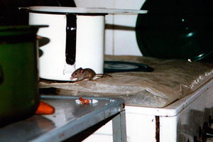 The Best Way to Get Rid of Mice in Kitchen: Foolproof Solutions to a ...