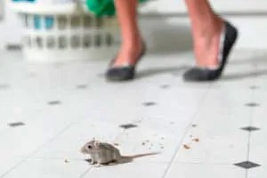 Mouse in kitchen