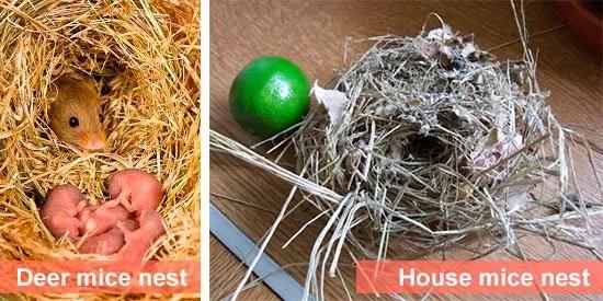 Mice nests