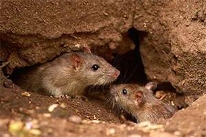 Outdoor mice