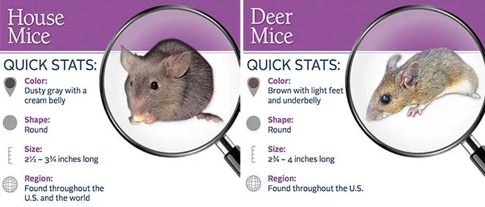 Quick stats of house and deer mice