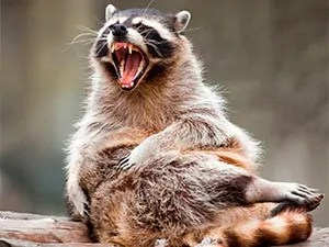 Raccoons with rabies - usefull information