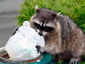 Raccoons removal