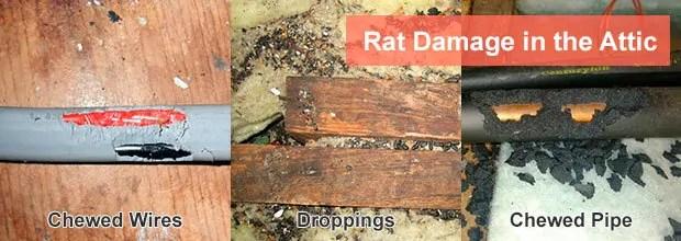 Rat damage in the attic
