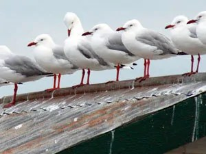 Seagulls problems
