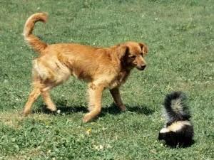 Skunk odor on dogs