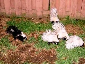 Problems With Skunks In Your Yard