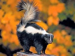 How to keep skunks away: top 5 methods