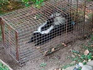 Skunks trapping