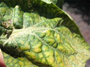 Spider mites' symptoms