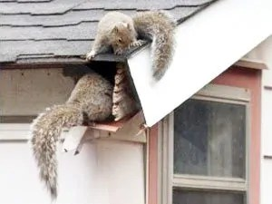 How to keep flying squirrels in attic
