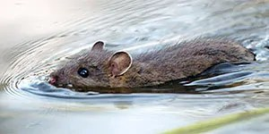 Swimming mouse
