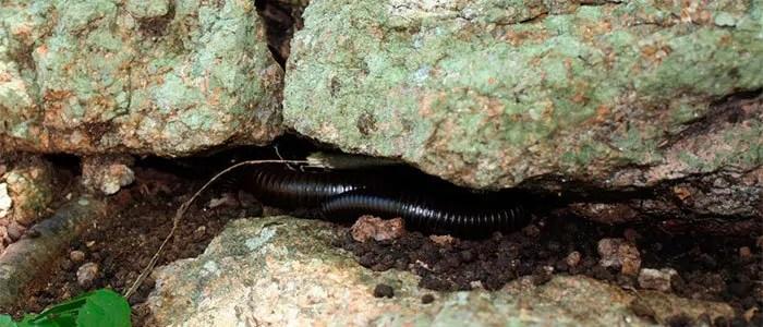 Millipedes under rock