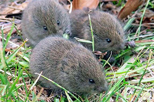 Voles in the grass
