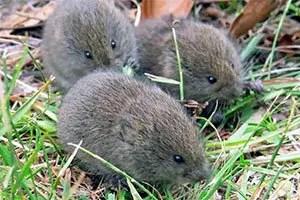 Voles in the grass