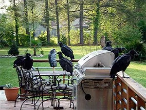 How To Get Rid Of Turkey Vultures Humane Control