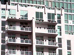 Vultures at balcony