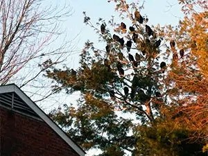 Turkey vultures on tree