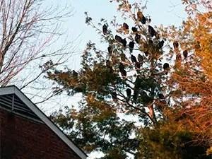 Turkey vultures on tree