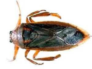 Water bugs terminology