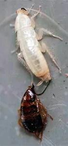 White roach