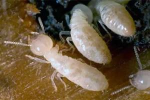 White termites