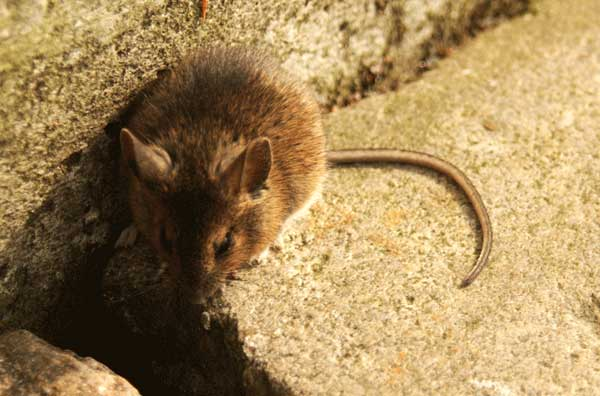 How To Get Rid Of Mice The Ultimate Guide For Mice