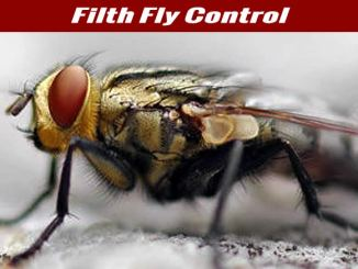 Filth Flies