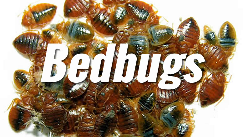 bed-bugs-7