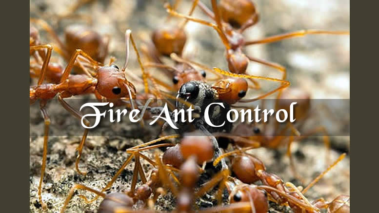Fire Ant Control Best Diy Fire Ant Treatment Fire Ant