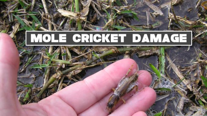 mole crickets lawn