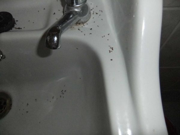 Bathroom Sink Ant Infestation Ideas Cleaning Tips Pest Control Ants